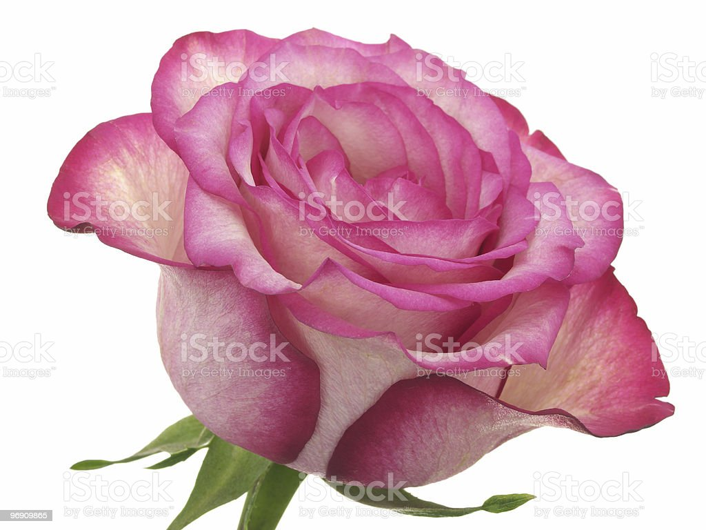 Head of pink rose royalty-free stock photo
