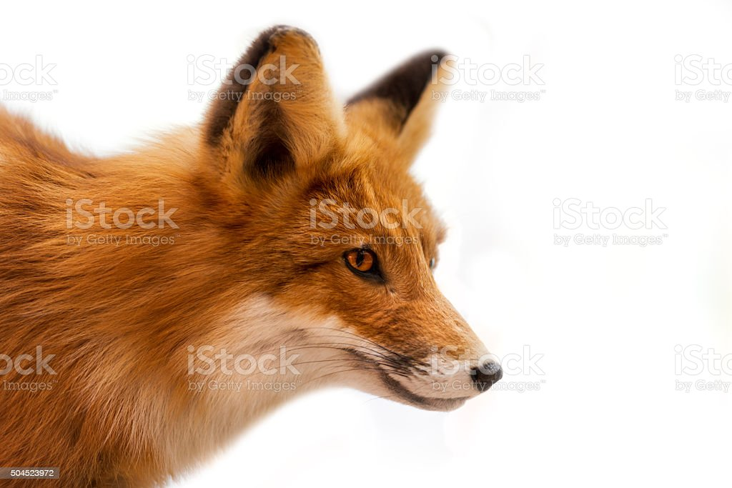 Head of Red Fox Isolated on White stock photo