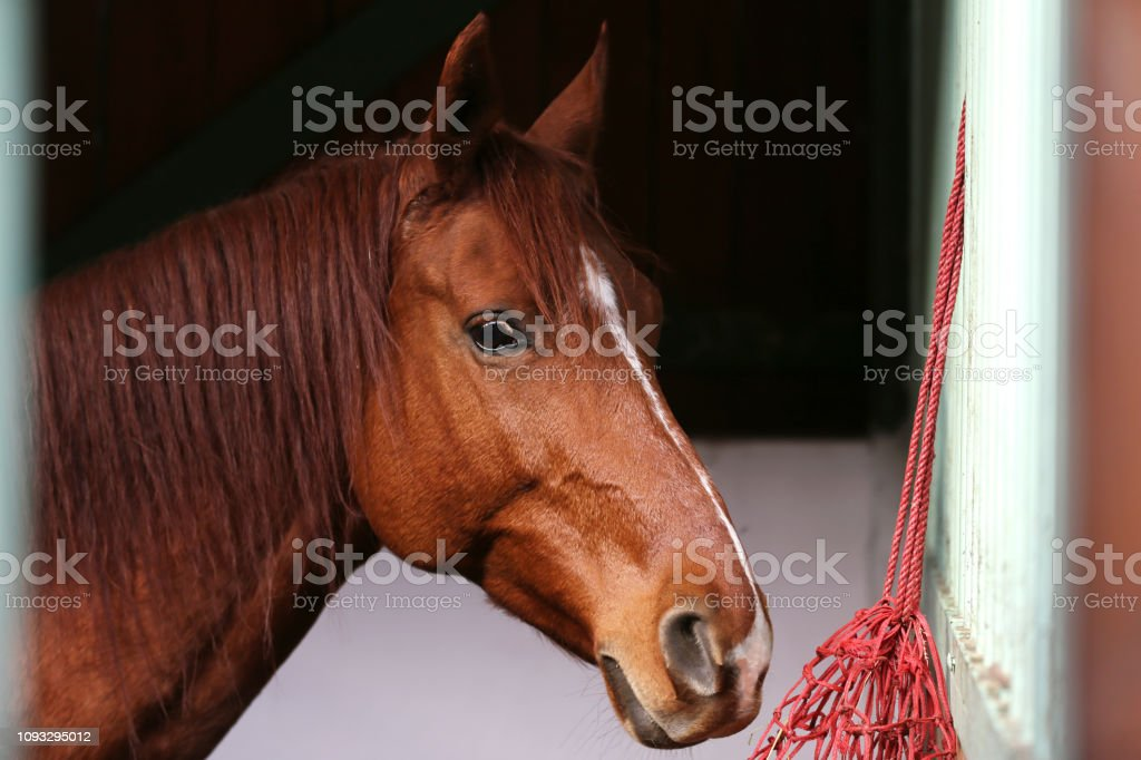 Portrait close up of a purebred saddle horse with head markings in...
