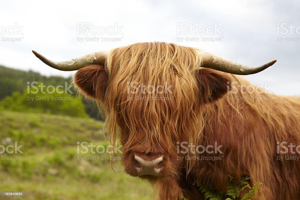 Tête de Vache des Highlands écossais - Photo