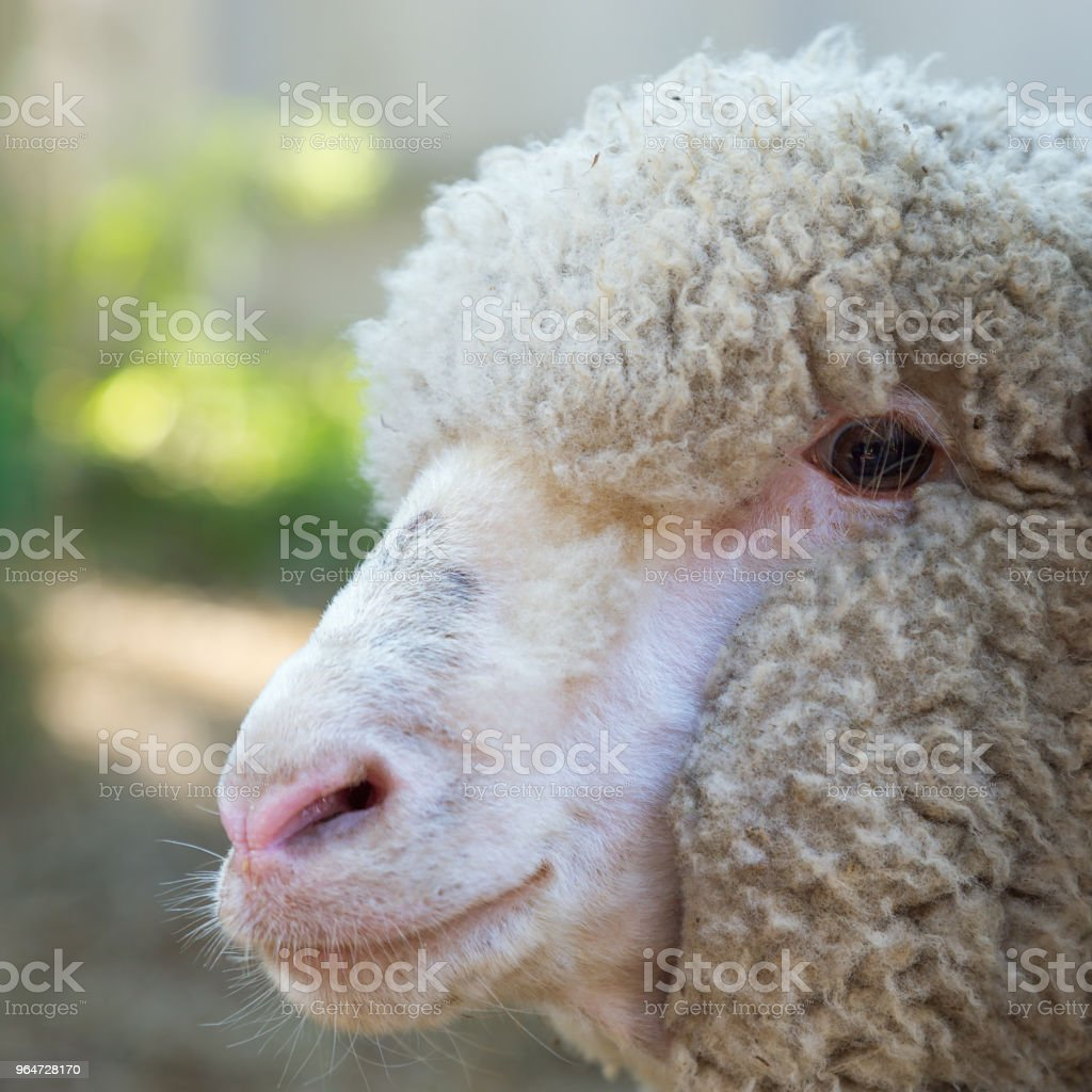 Head of sheep close up royalty-free stock photo