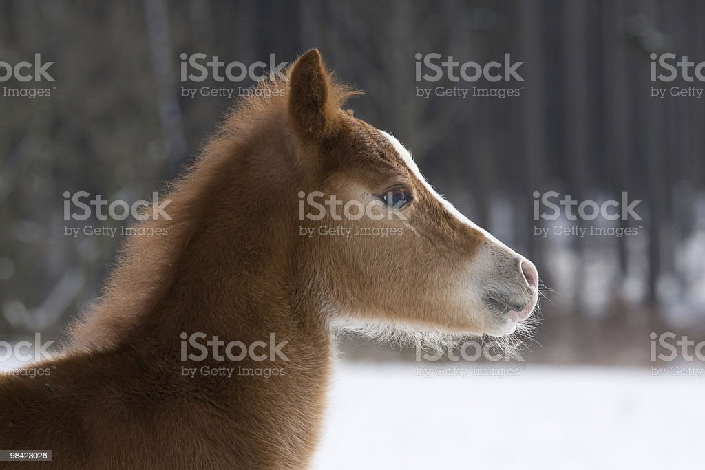 Head of small foal royalty-free stock photo