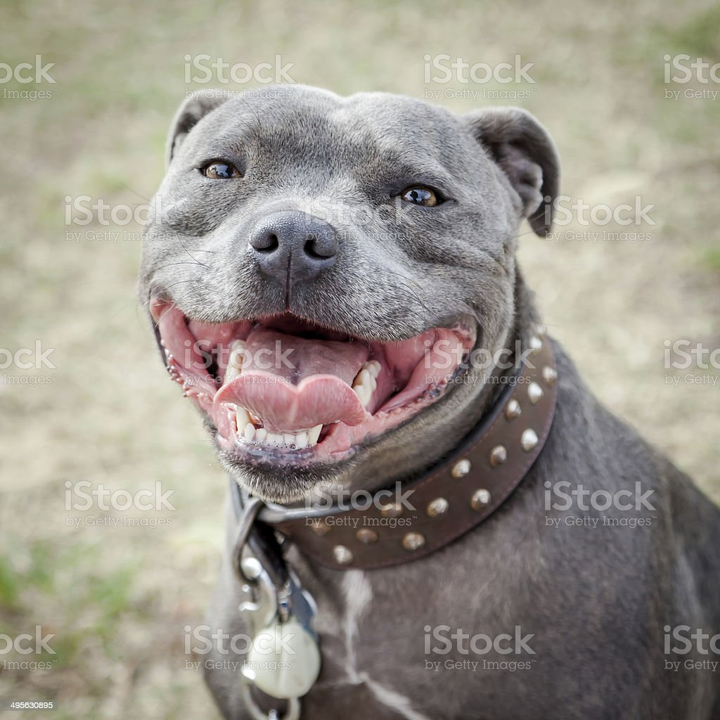 Head of very happy blue or grey Staffordshire Bull Terrier or Staffie...
