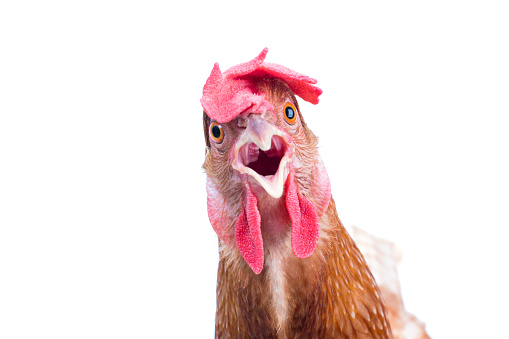 head of surprising hen