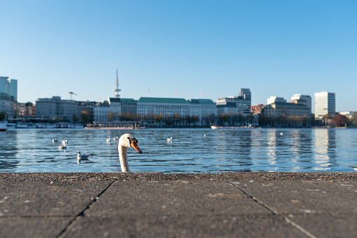 head of swan showing up behind quay wall at Alster Lake in Hamburg, Germany