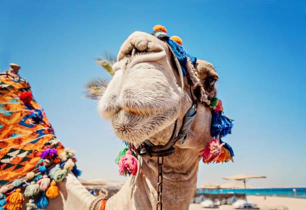cabeza de camello con ojos abiertos, primer plano, retrato, egipto - camello fotografías e imágenes de stock