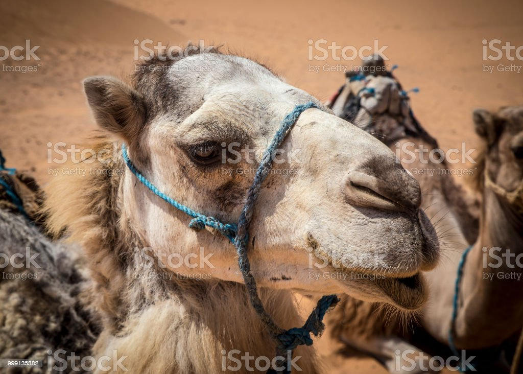 Head of the camel with open eyes.