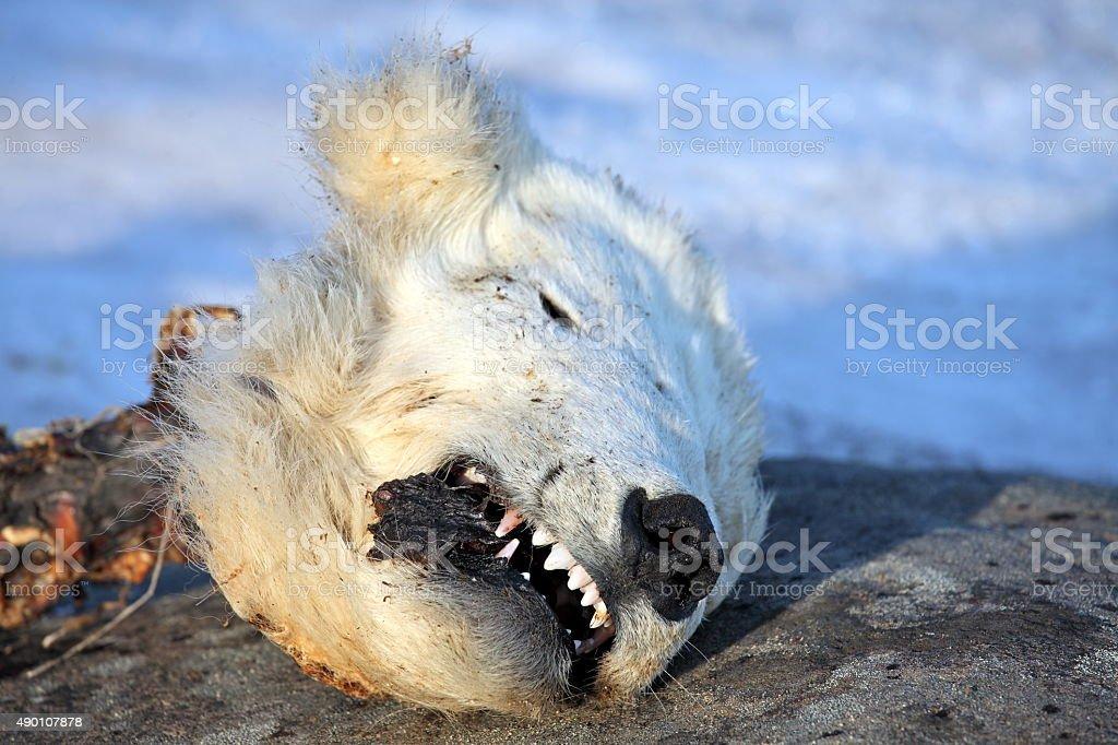 Head of the dead polar bear stock photo