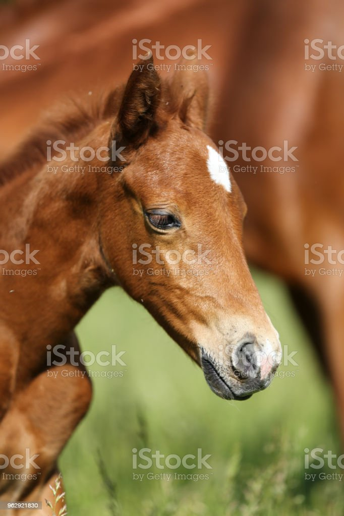 Head Of The Few Weeks Old Newborn Baby Horse Stock Photo Download Image Now Istock