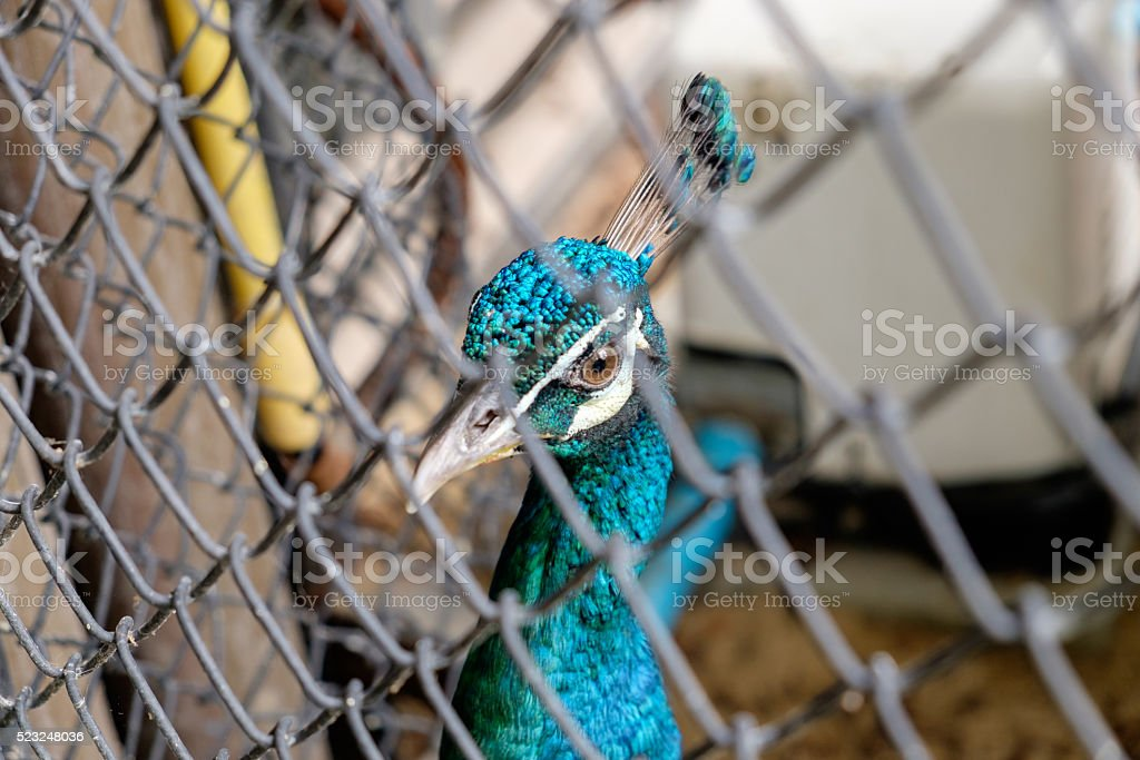 head of the peacock in the cage stock photo