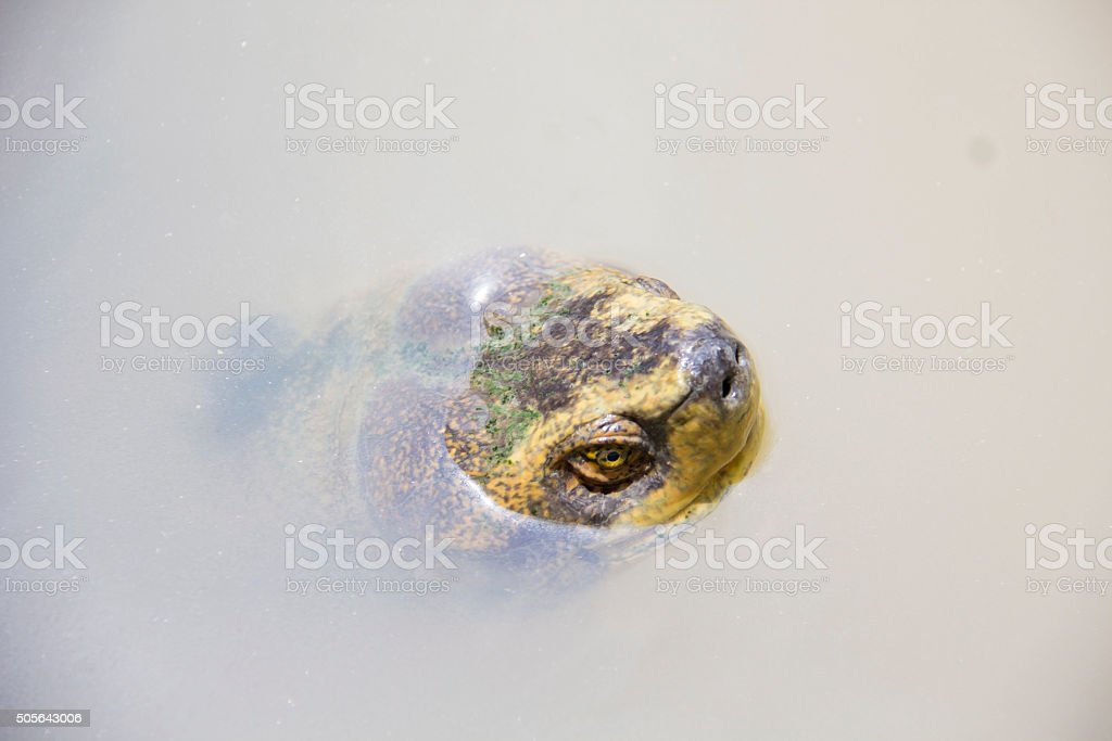 Head of turtle in the river Head of turtle in the river Animal Stock Photo