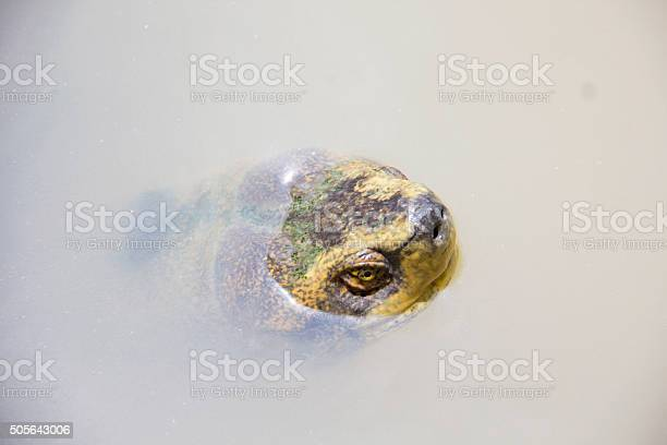 Head Of Turtle In The River Stock Photo - Download Image Now