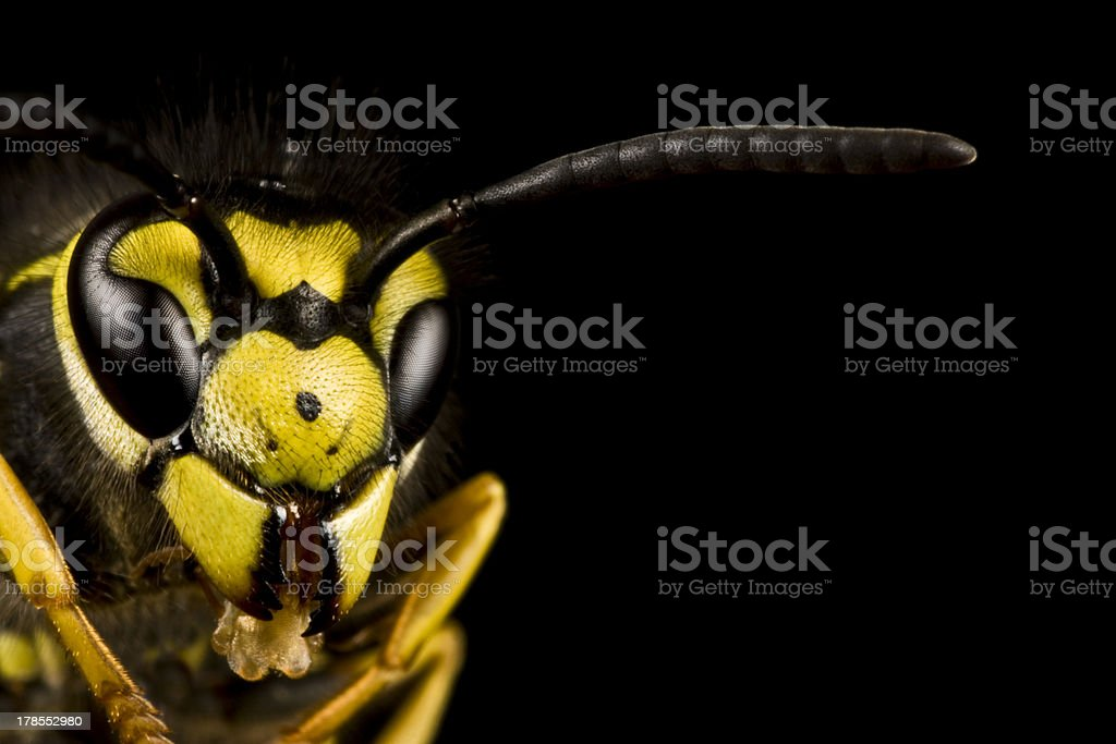 head of wasp in black background royalty-free stock photo