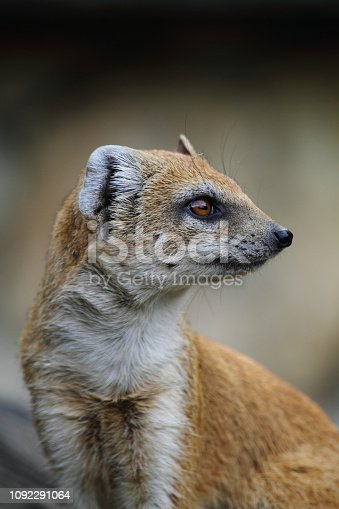head of nice weasel in the nature