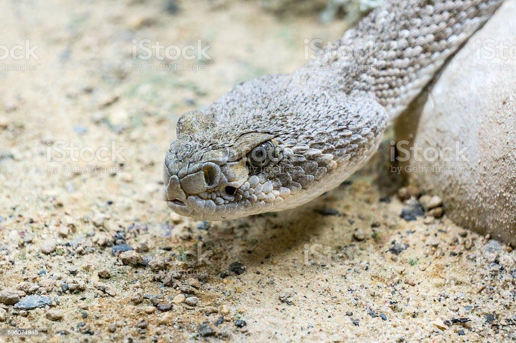 Head of Western diamond backed Rattle snake stock photo