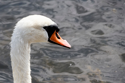 Head of wet white swan close-up wallpaper