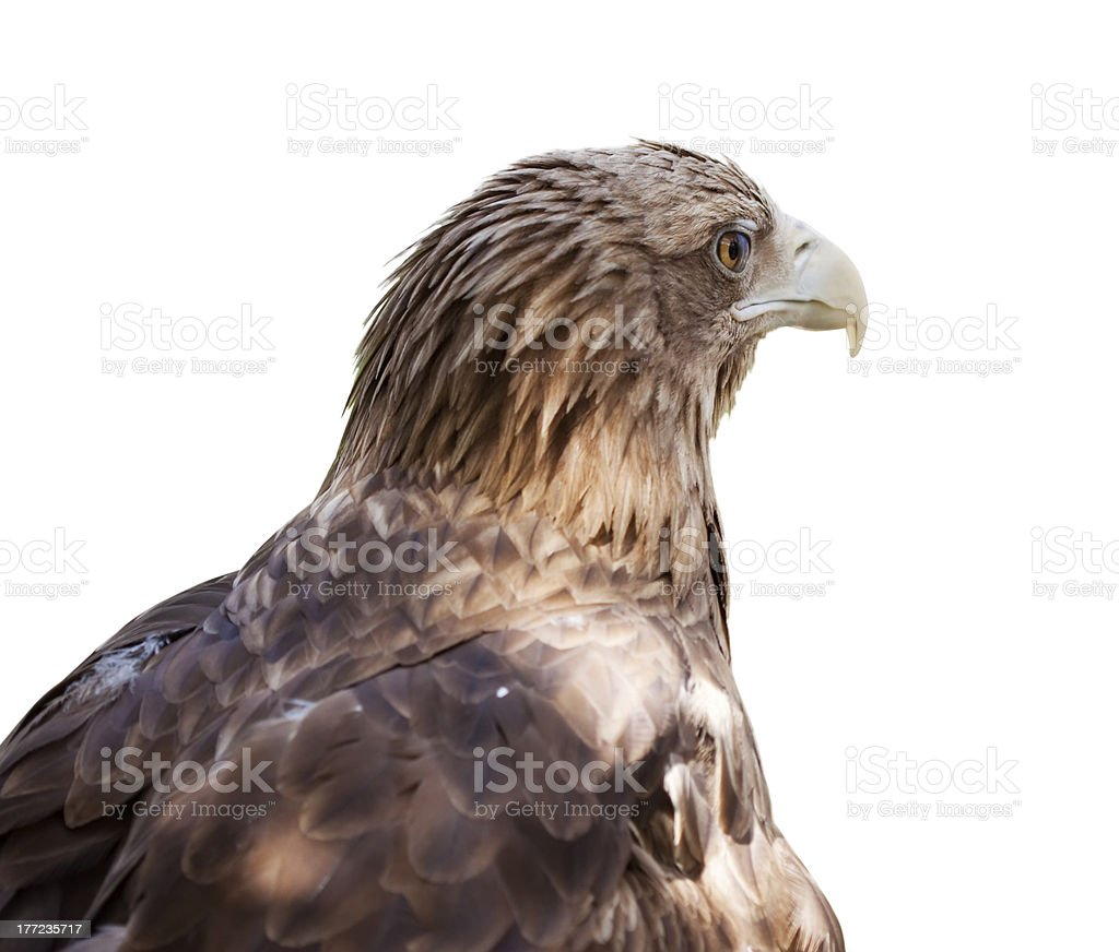 Head of white-tailed eagle stock photo