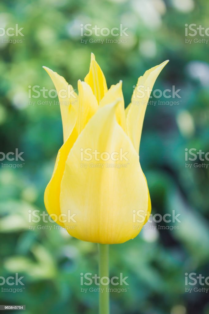 Head of yellow tulip in the garden - Royalty-free Beauty Stock Photo