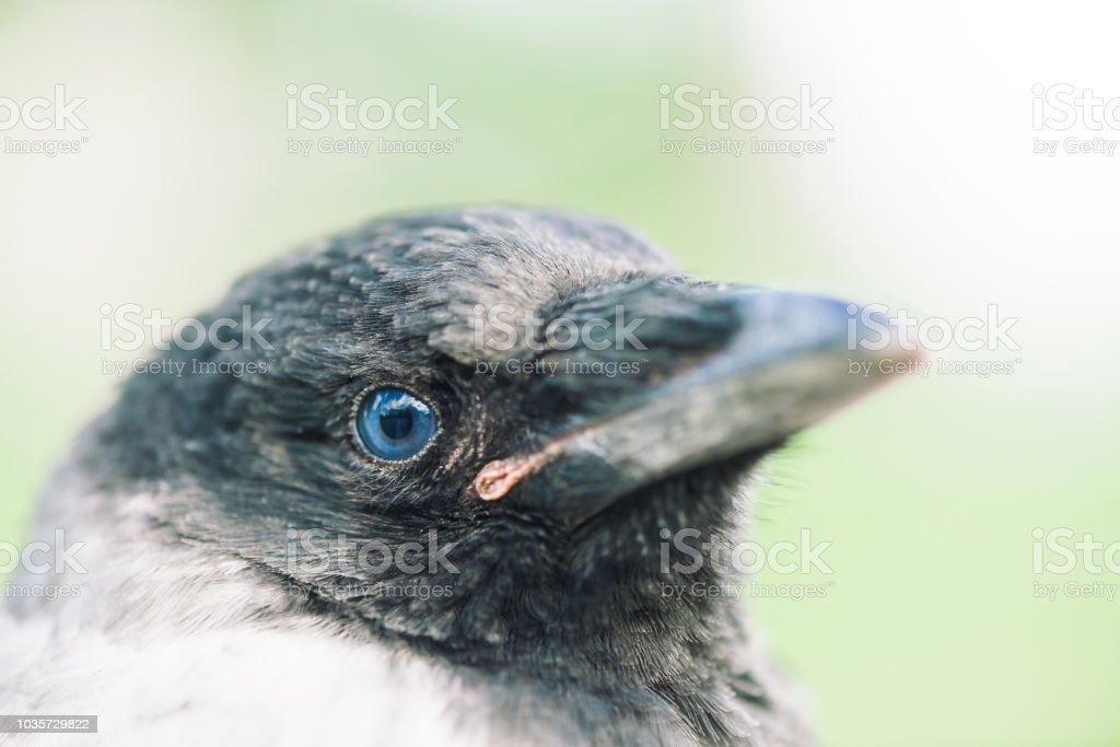 Junge krähe