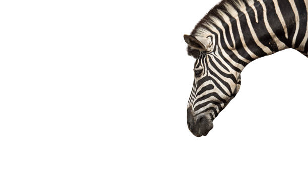 head of zebra isolated on white background, clipping path - zoo stock pictures, royalty-free photos & images