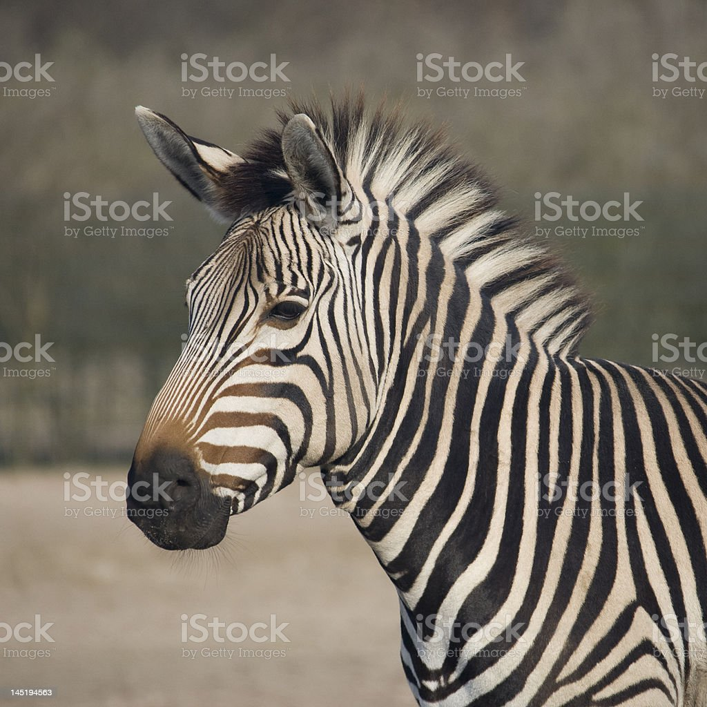 Head of Zebra royalty-free stock photo