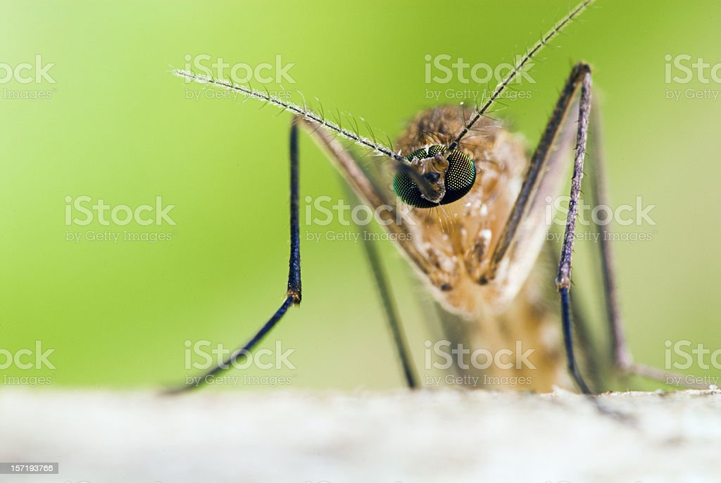 Head on Mosquito Portrait royalty-free stock photo