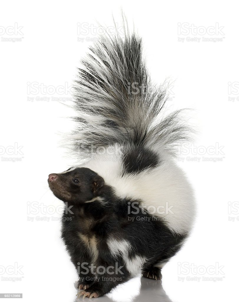 Head on photo of skunk with tail raised on white background stock photo
