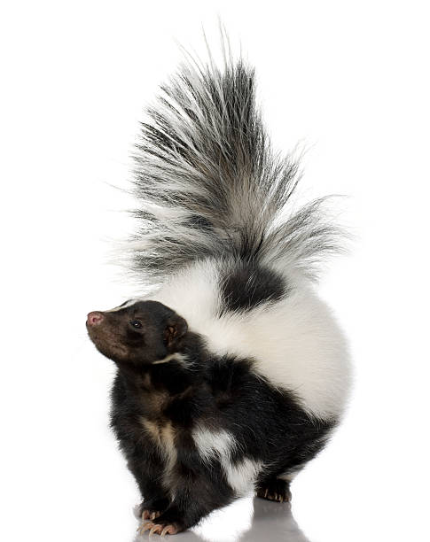 head on photo of skunk with tail raised on white background - skunk stock photos and pictures