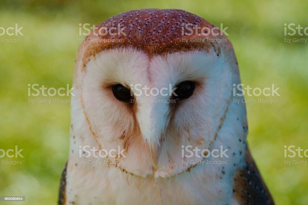 Head on portrait view of a barn owl zbiór zdjęć royalty-free