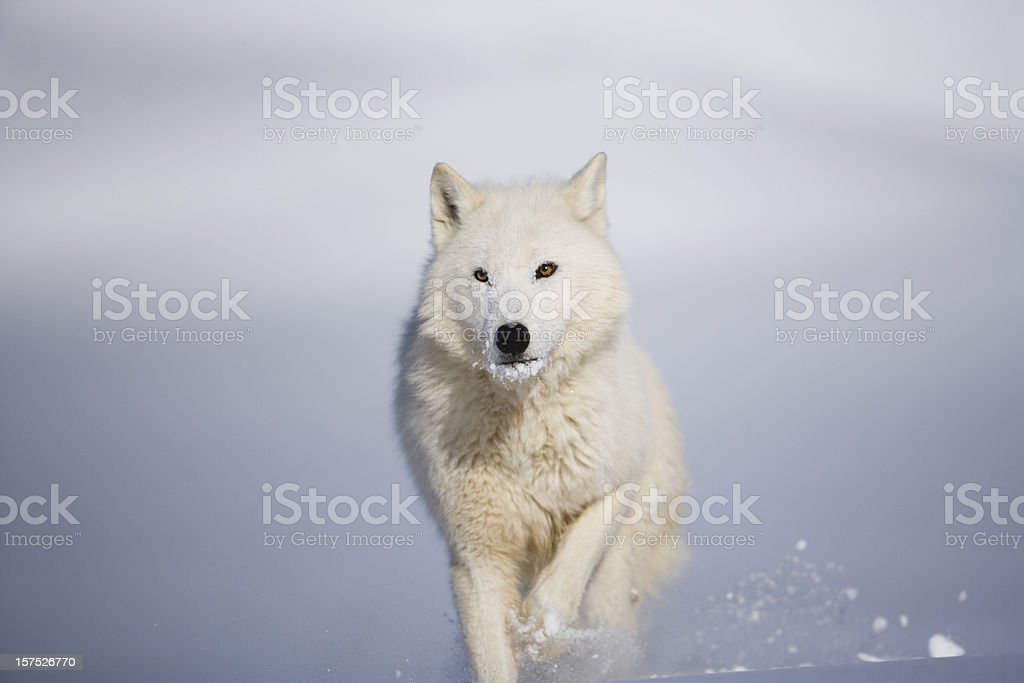 Head on view of arctic wolf in Winter landscape. stock photo