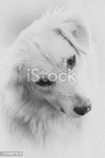 Head portrait of entlebucher sennenhund against white background,Head portrait of entlebucher sennenhund against white background