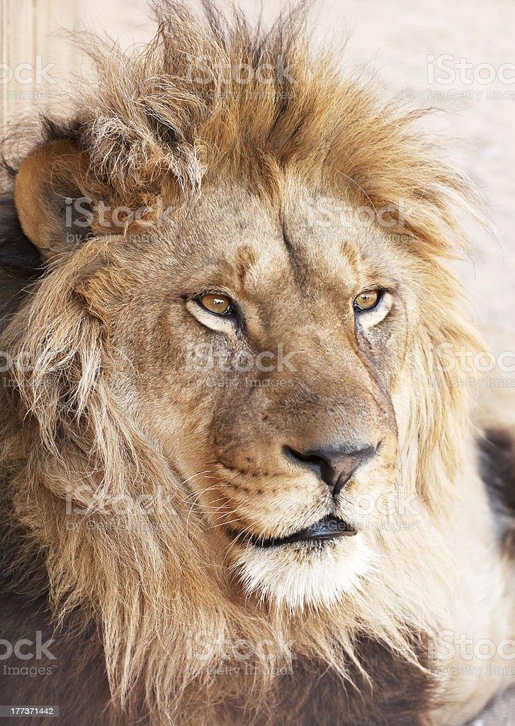 Head portrait of lion animal royalty-free stock photo