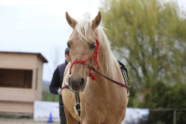 kopfschuss nahaufnahme eines schönen yong-pferdes während des trainings - pferdezeitschrift stock-fotos und bilder