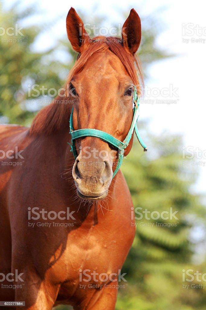 Head shot of a beautiful chestnut stallion at farm stock photo
