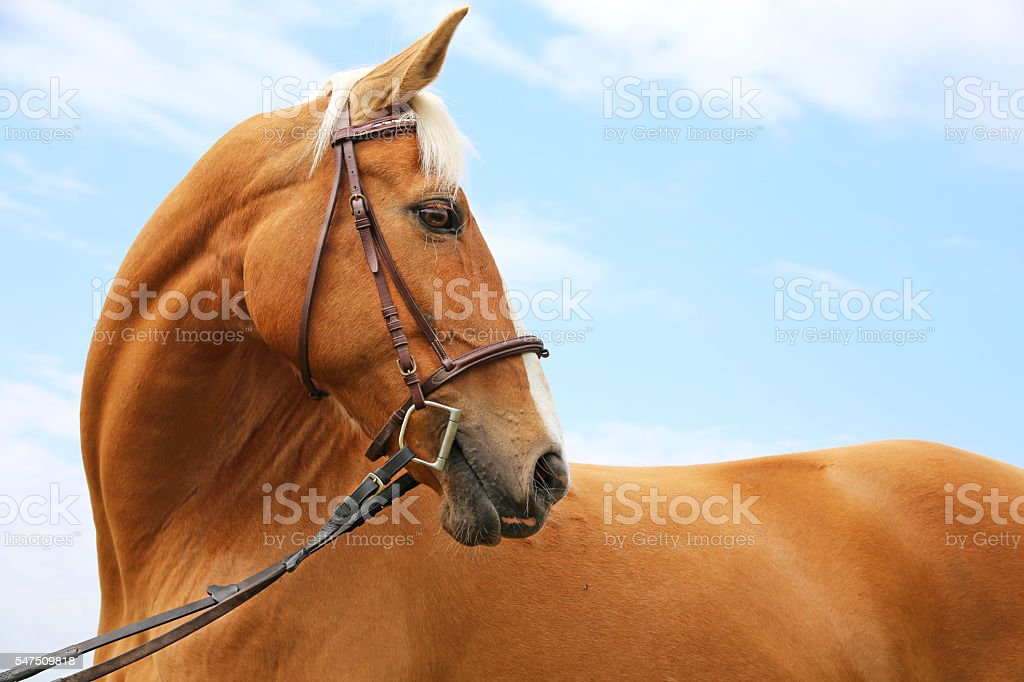 Head shot of a chestnut horse against blue sky background stock photo