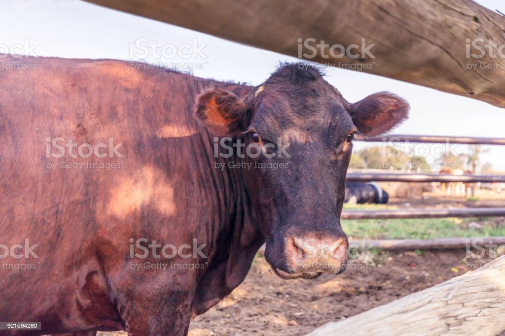 Head shot of a cow from behind stock photo
