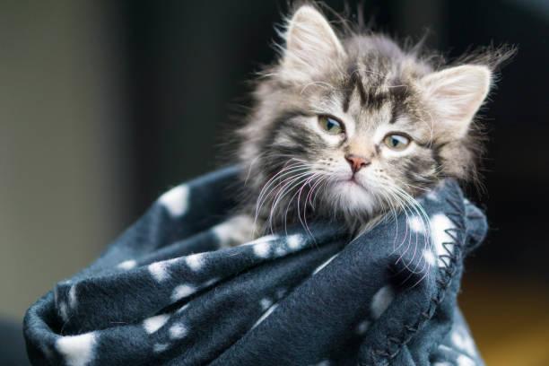 Head shot of a five week old maine coon kitten wrapped in a warm picture id692244812?b=1&k=6&m=692244812&s=612x612&w=0&h=2wjve4okg6mli8n m5ydrufohbg7hhms qcluakngv8=