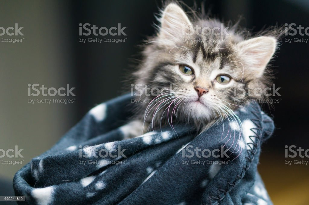 Head shot of a five week old Maine Coon kitten wrapped in a warm blanket. stock photo