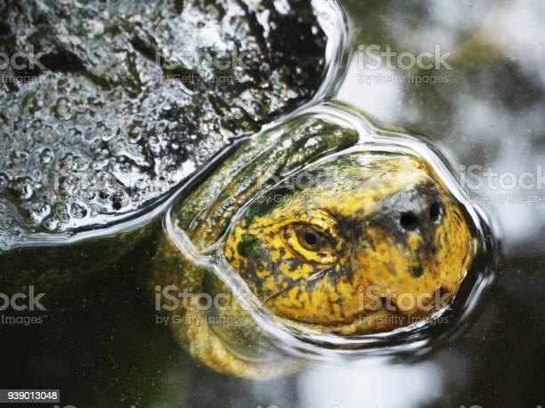 Head shot of a green turtle picture id939013048?b=1&k=6&m=939013048&s=612x612&h=bdmptzj75ojr6hmru0rayljrp7u1rv0vxrnz0opz5mi=