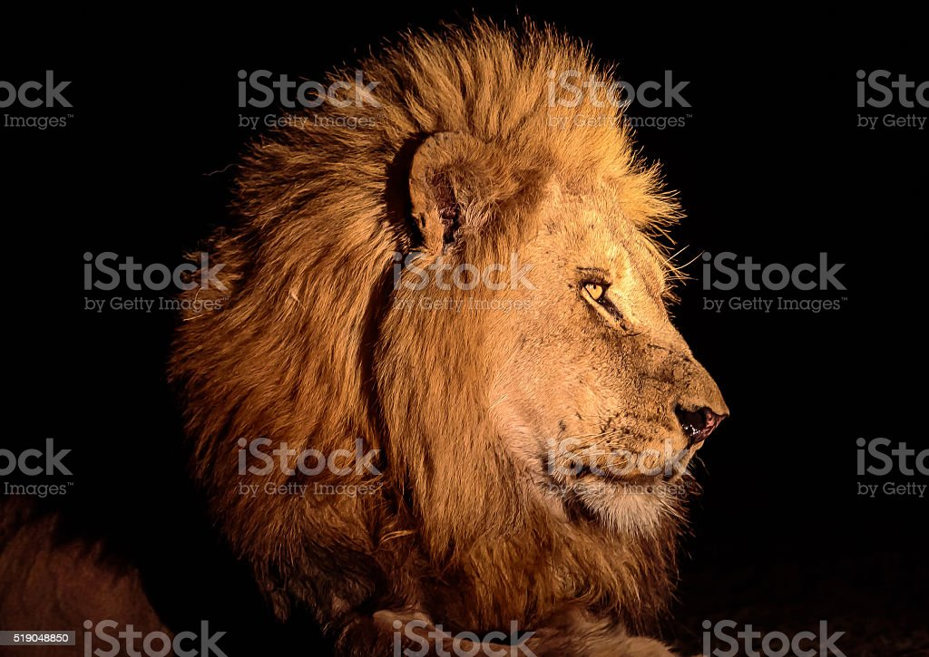Head shot of a male lion at night stock photo