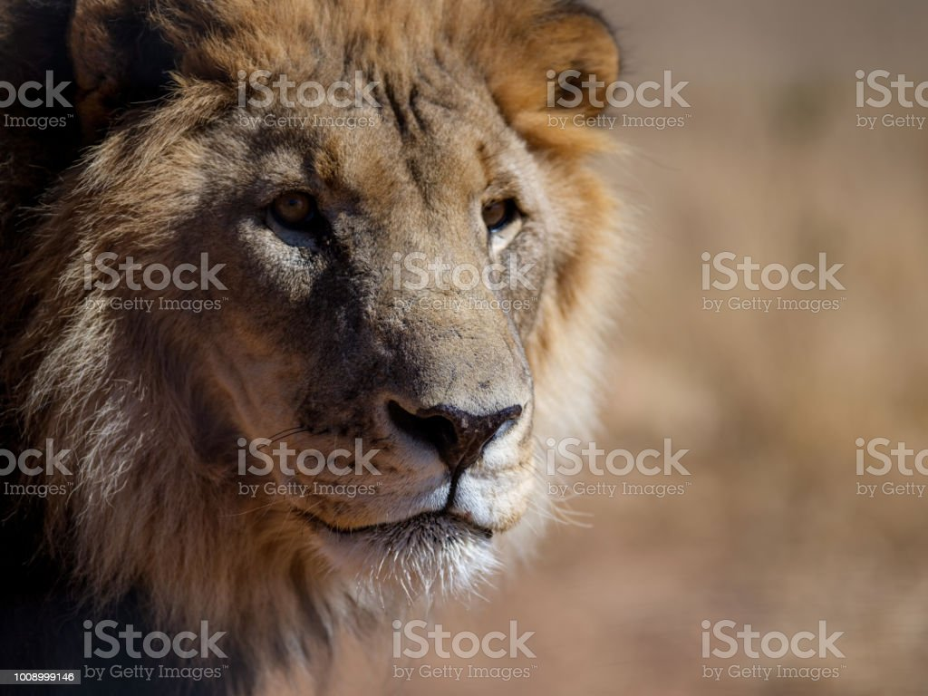 Head shot of a male lion stock photo
