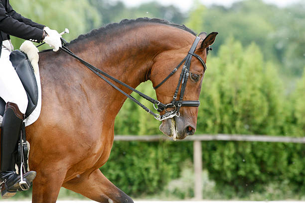 head shot of a thoroughbred racehorse with beautiful trappings u - horse bit stock photos and pictures