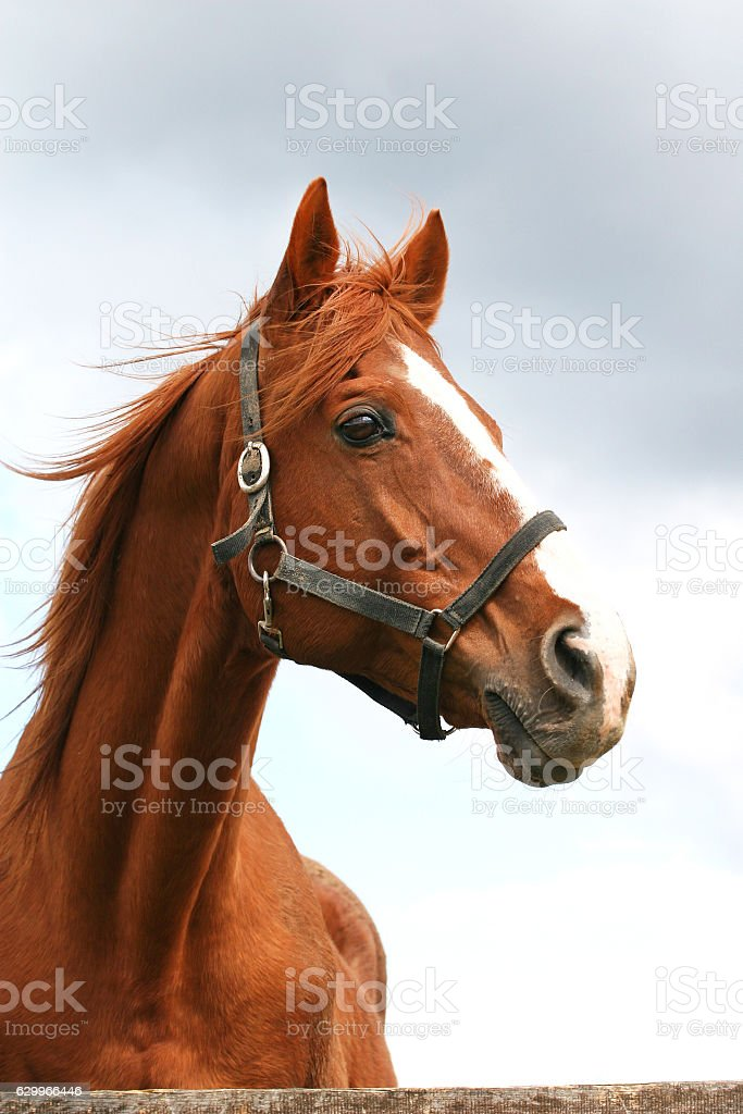 Head shot of an anglo-arabian racehorse against blue sky stock photo