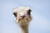 istock Head shot of an ostrich looking at the camera 185235511