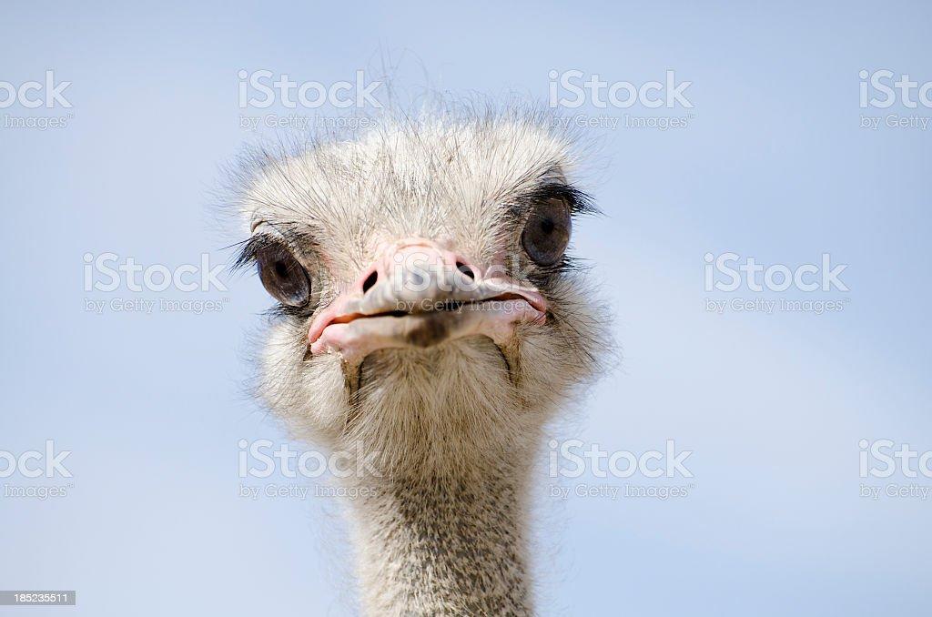 Toma de un avestruz mirando a la cámara - foto de stock