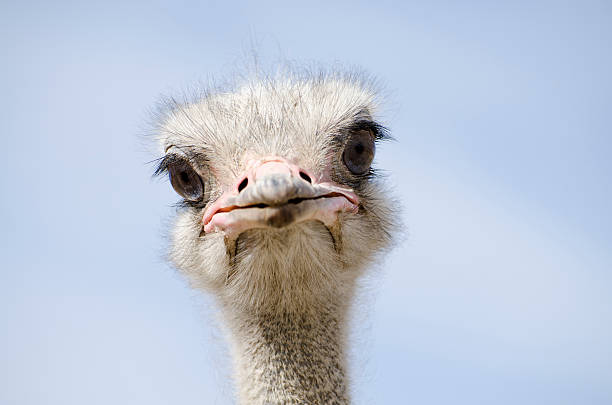 head shot of an ostrich looking at the camera - struisvogel stockfoto's en -beelden