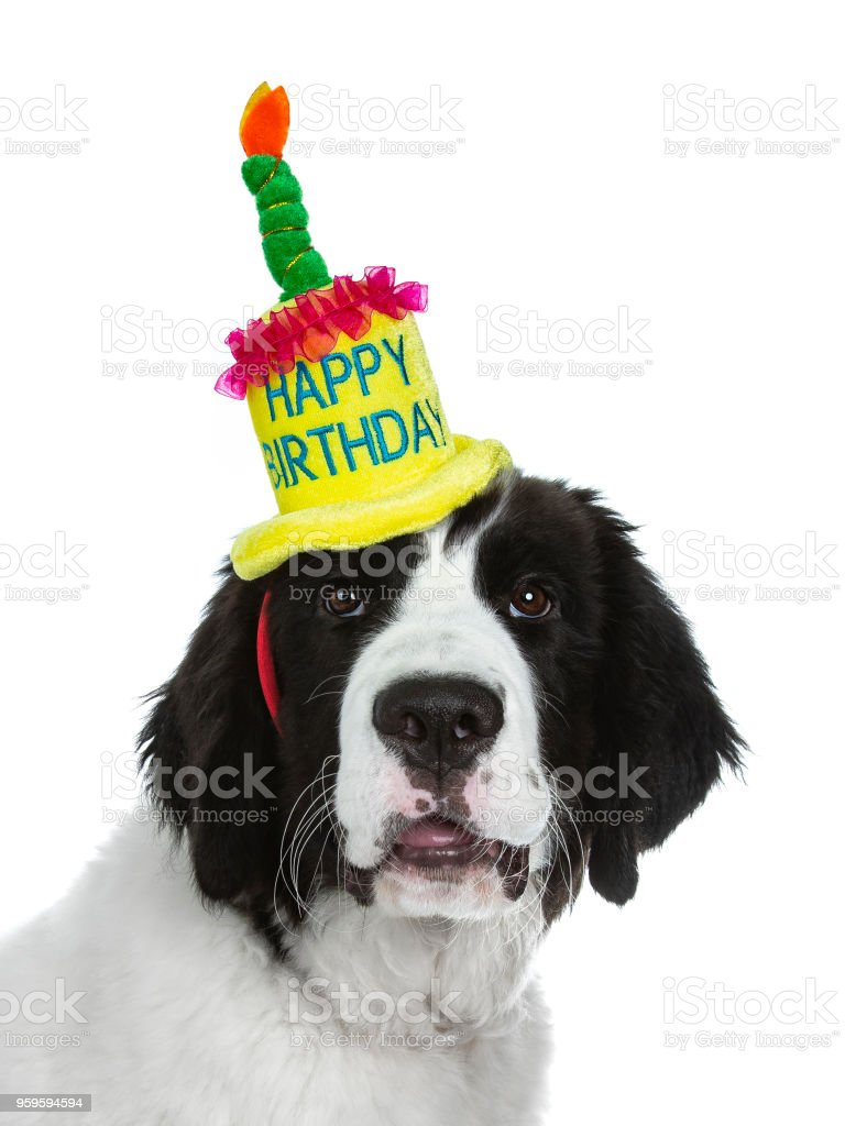 Head Shot Of Black And White Landseer Puppy Dog Wearing A Bright Coloured Happy Birthday Hat Isolated On Background