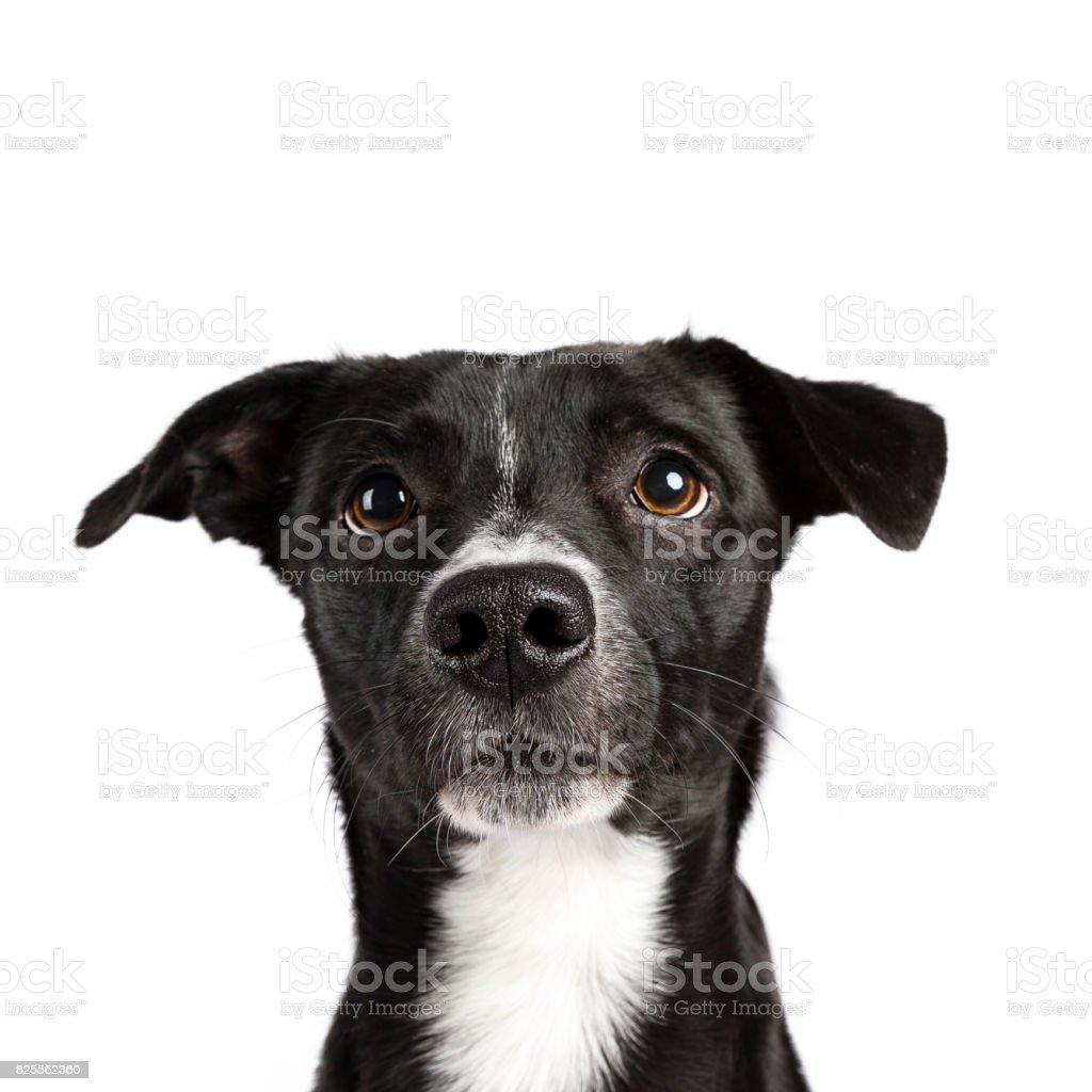 Hoofd schot van zwart-wit zwerfhond geïsoleerd op witte achtergrond foto