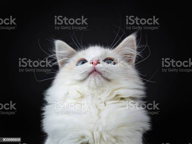 Head shot of blue eyed ragdoll cat kitten sitting isolated on black picture id905686658?b=1&k=6&m=905686658&s=612x612&h=kwmg48hd2xedjwy2ul7xgj 6kmas9awi 4nhgsdof6s=
