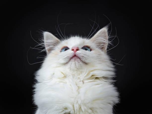 Head shot of blue eyed ragdoll cat kitten sitting isolated on black picture id905686658?b=1&k=6&m=905686658&s=612x612&w=0&h=ibqh10 huev6ehf4bktox4njd5wbnhrpoc43btiezia=